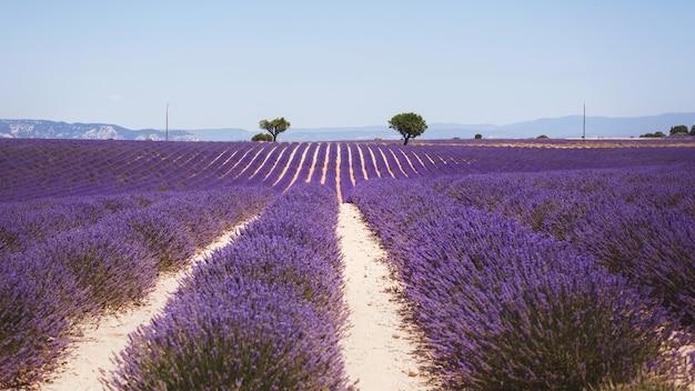 明るい光のバレンシア、プロヴァンス、フランスの美しい香りの良いラベンダー畑