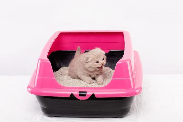 Британский котенок учится ходить в розовом подносе