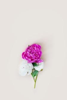 Красивый розовый белый пион на светлом фоне