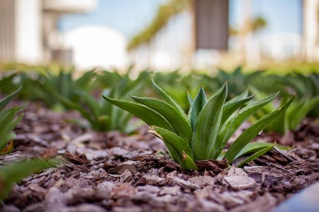 地面に成長している装飾的なアロエ