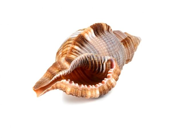海洋ザルガイの殻