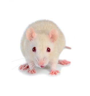 白いマウス