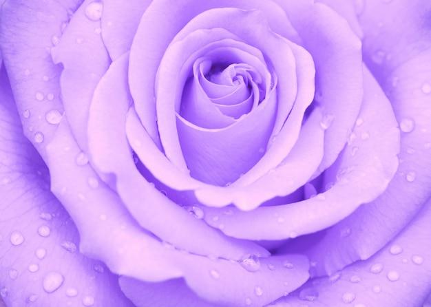 雨のクローズアップ後の水滴とバラのつぼみ