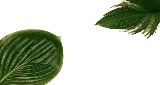 白い背景にギボウシの葉