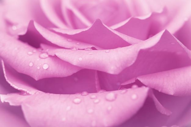水滴とピンクのバラのつぼみ