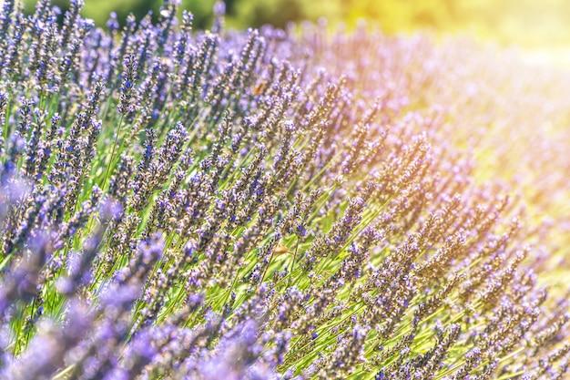 夏のプロヴァンス、フランスのヴァロンソル近くのラベンダーの花の茂みをクローズアップ