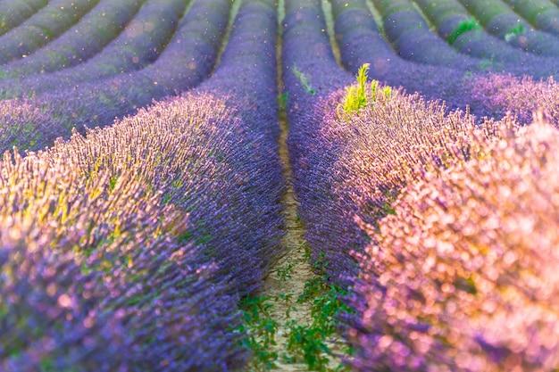 夏のプロヴァンス、フランスのプロヴァンス近くの紫色のラベンダーの花の茂みをクローズアップ