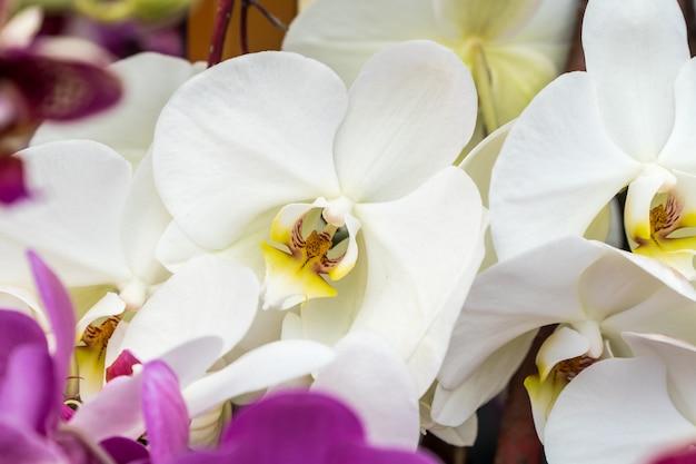 美しい白い蘭