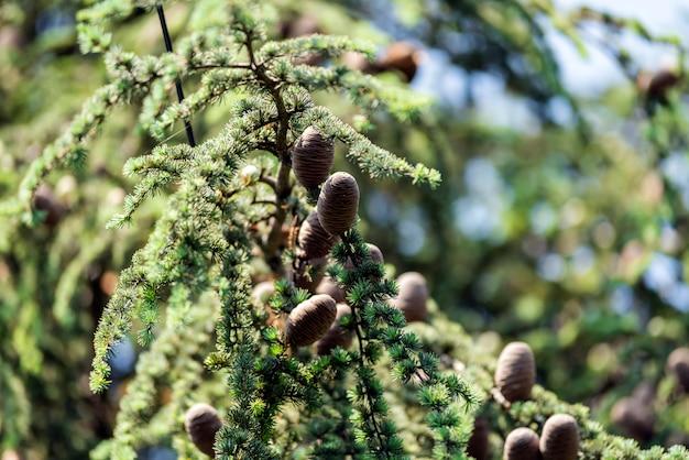 Сосновые шишки на дереве