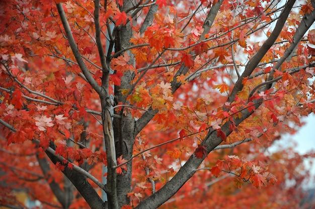 紅葉の木、紅葉の風景