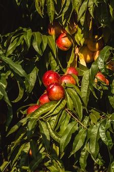 Сладкие органические нектарины на дереве в большом саду