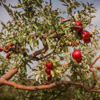 リンゴの木の枝に赤いリンゴ