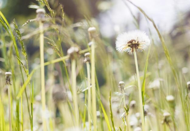 ふわふわタンポポの花