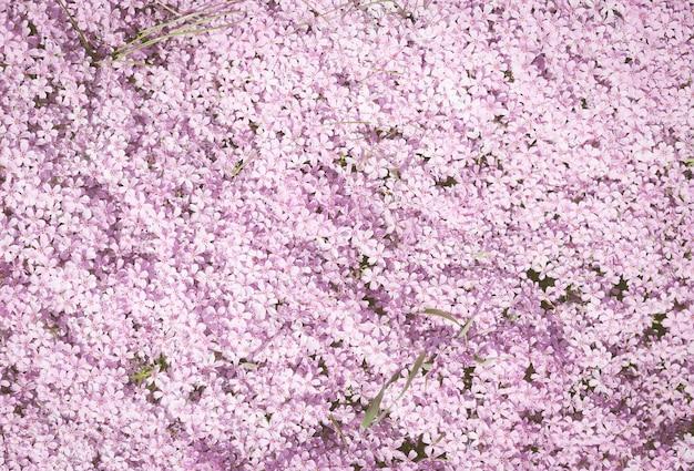 花。多くの小さなピンクの花が土の上で育ちます。