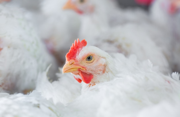養鶏場の白鶏