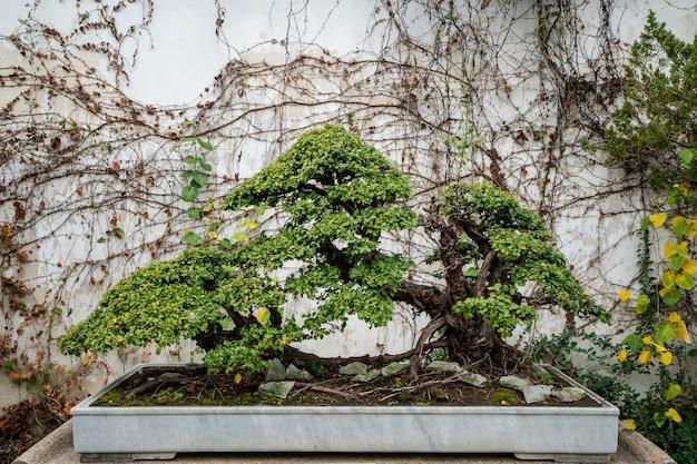 Красивый бонсай в саду сучжоу, китай