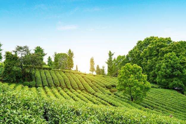 山頂の茶畑