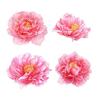 水彩のピンクの牡丹の花。