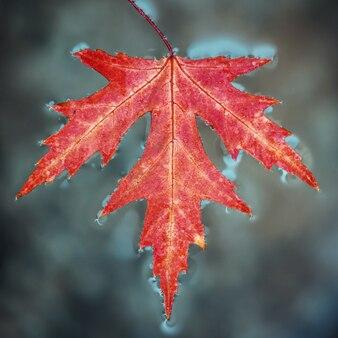秋の紅葉のカエデは地表水にあります。クローズアップ、セレクティブフォーカス。
