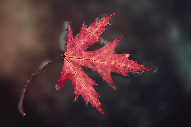 秋の紅葉のカエデは地表水にあります。