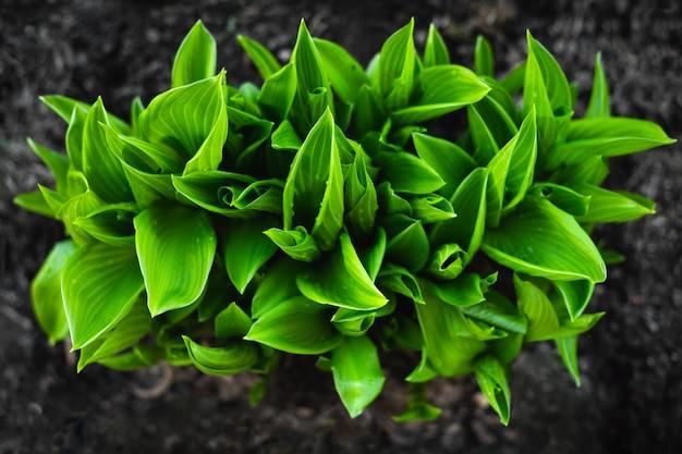 ホスタの鮮やかな緑色の茂み。春の庭の装飾的な植物。