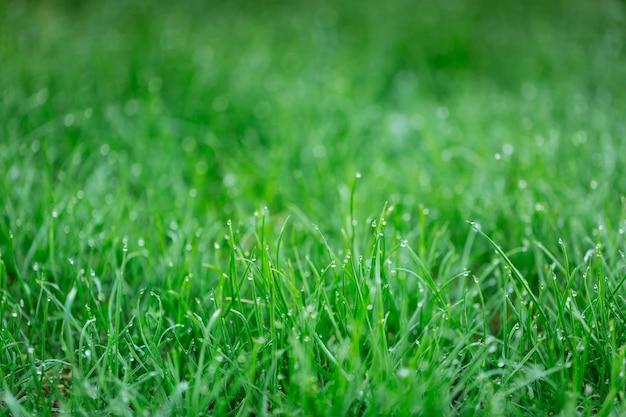 緑の芝生に露のしずく。