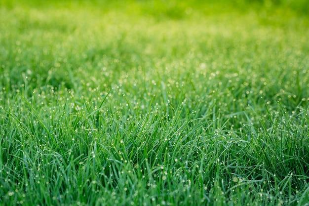 緑の春の芝生の上の新鮮な朝露のクローズアップ。