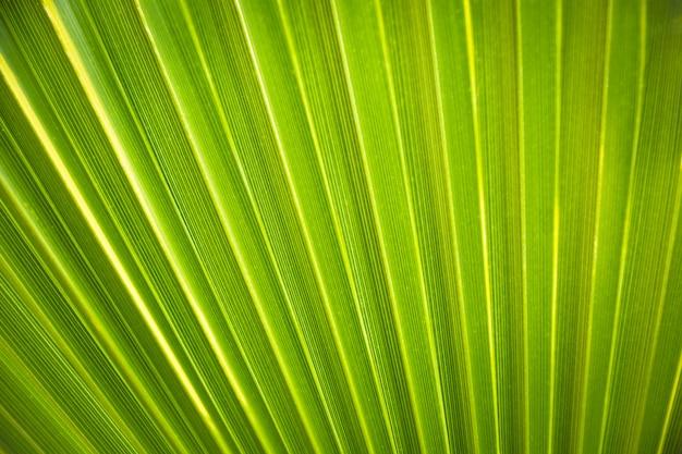 バックライトの新鮮な緑のヤシの葉のテクスチャ背景。