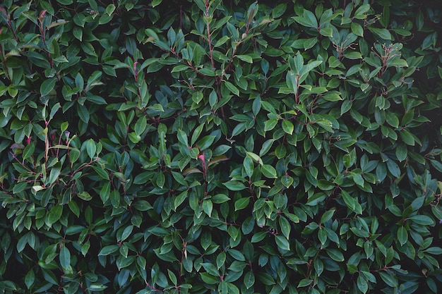 緑豊かな緑の葉で覆われた壁。自然な背景