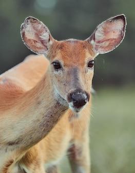 Дикие олени на открытом воздухе в лесу, едят траву бесстрашные красивые и милые
