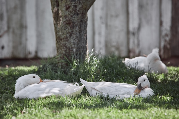 農家の庭の家禽イースター村のコックに新鮮な有機卵を産む国内アヒル
