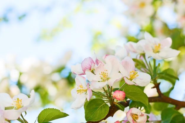 Крупный план цветущей яблони весной