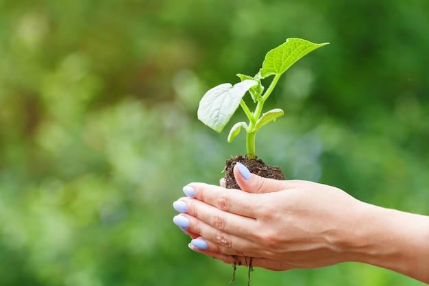 ぼかしの植物の芽を保持している女性の手
