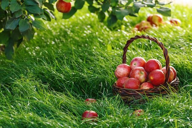 収穫します。りんごの木の枝の下とバスケットの中のりんご。