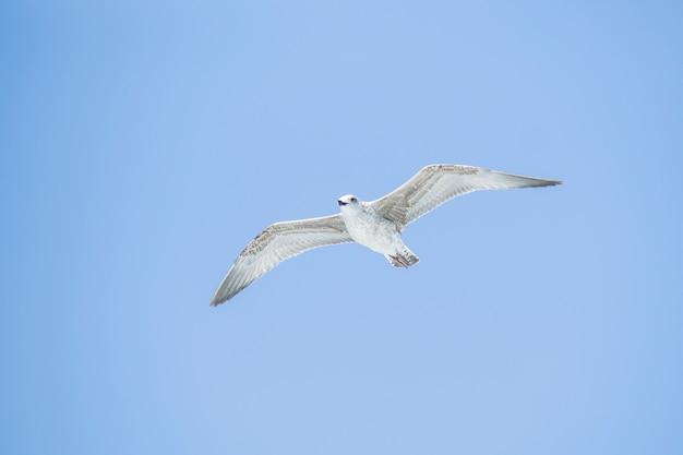 Чайка летать