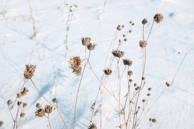 雪の中で乾いた植物、冬の牧草地。