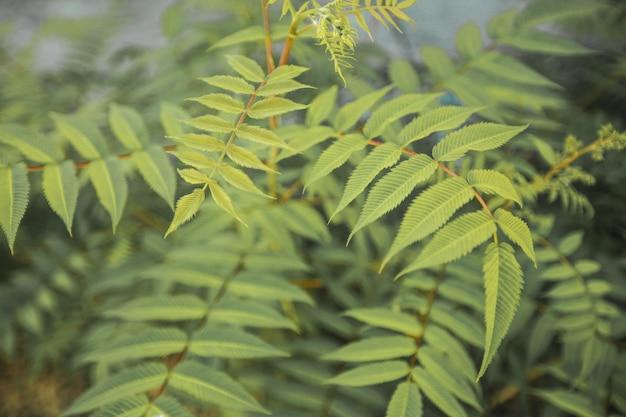 美しいシダは日光の下で緑の葉の天然花シダを残します