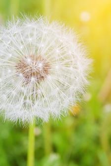 Одуванчик на фоне зеленой травы