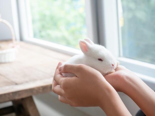 女性の手と背景をぼかした写真の小さな赤ちゃん白いウサギ。赤ちゃんウサギのお手入れ。