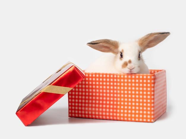 ギフト用の箱に白のかわいい若いウサギ
