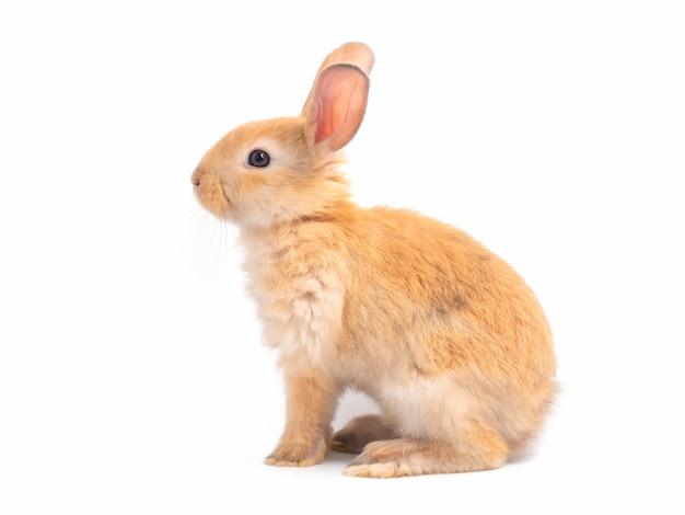 分離された茶色のかわいい赤ちゃんウサギ座っている素敵な茶色のウサギの側面図。