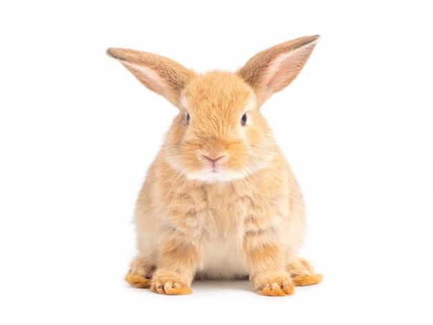 白で隔離される茶色のかわいい赤ちゃんウサギ