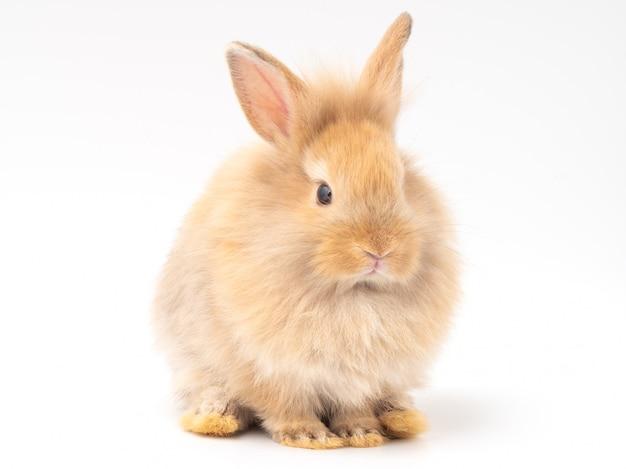 赤茶色のかわいい赤ちゃんウサギが白い背景で隔離。
