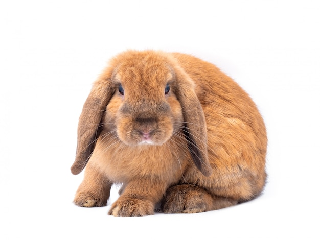 白い背景に分離された茶色のオランダ垂れウサギ。