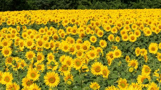 ひまわり畑、夏の風景