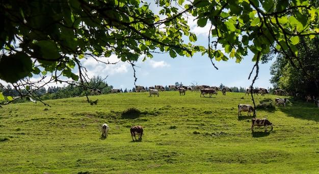 アルプスの牧草地で放牧する牛