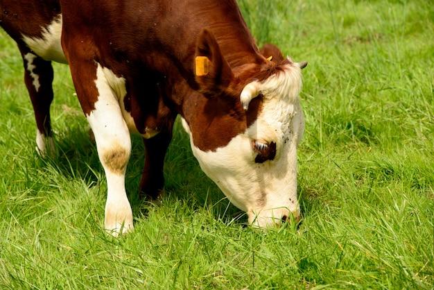 山の牧草地で牛
