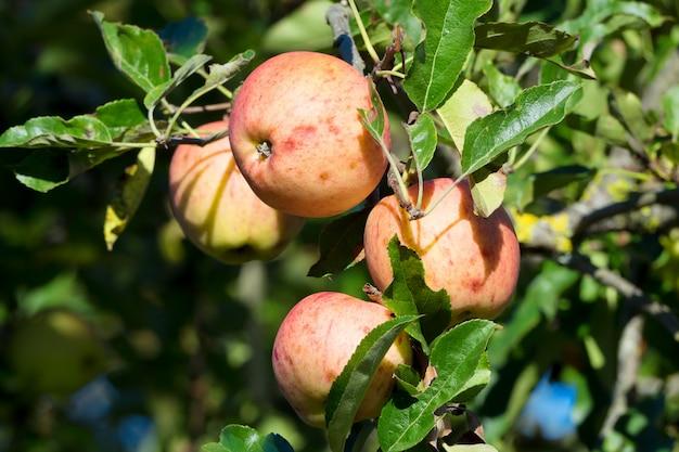Красивые красные яблоки на дереве