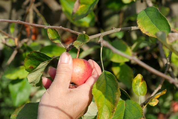 果樹園でリンゴを拾う女性