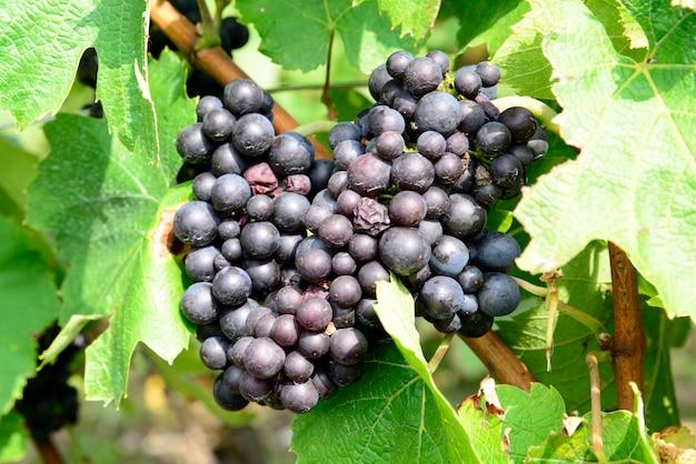 ブドウの房の黒ブドウ